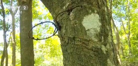 天然橡胶价格近腰斩 壮年高产橡胶树遭弃割